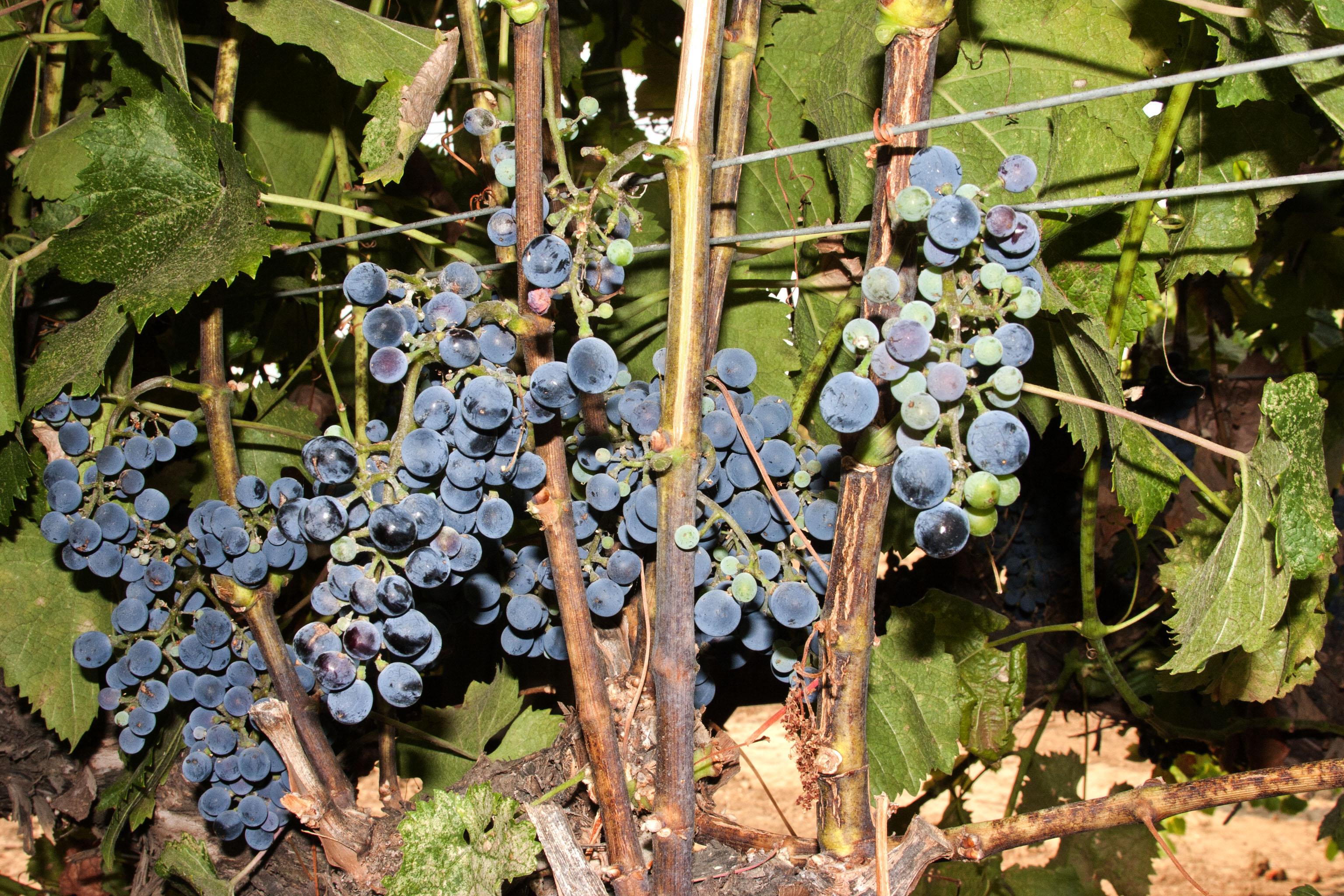 US Grapes - Malbec & Cot at FPS