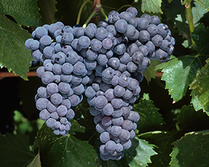 The Fps Grape Registry Seeks To Preserve And Display In An Updated Format Details On Grapevine Selections Previously Included National