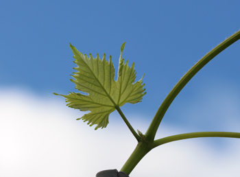 Young grape leaf against blue sky.