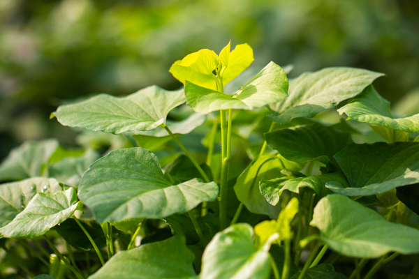 New sweet potato growth shot by Elijah Victa.