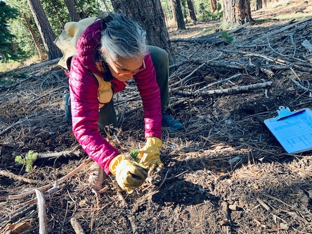 The Survivors: Sugar Pine Trees and the Future Forest