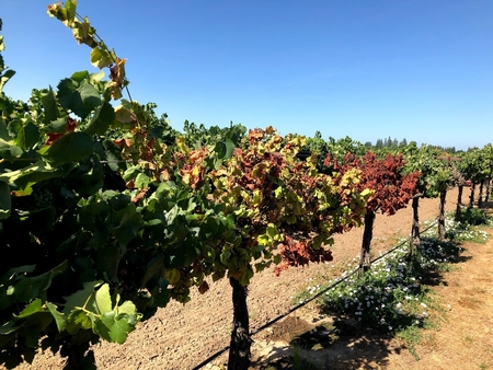 Sudden Vine Collapse Research Presented in Lodi
