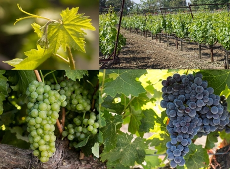 Winegrapes of UC Davis' Featured in Farm Press Article